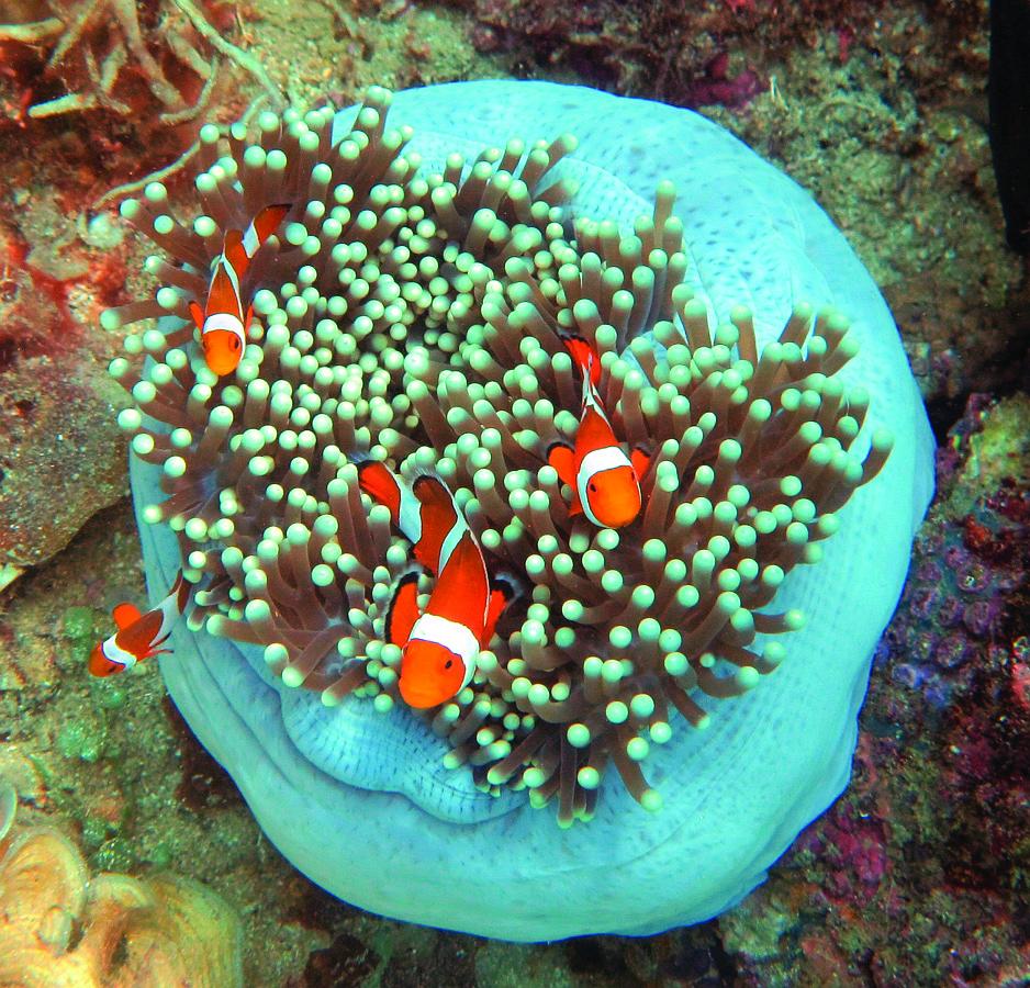 B1 02 FalseClownAnemonefishKabuiPass_crop100