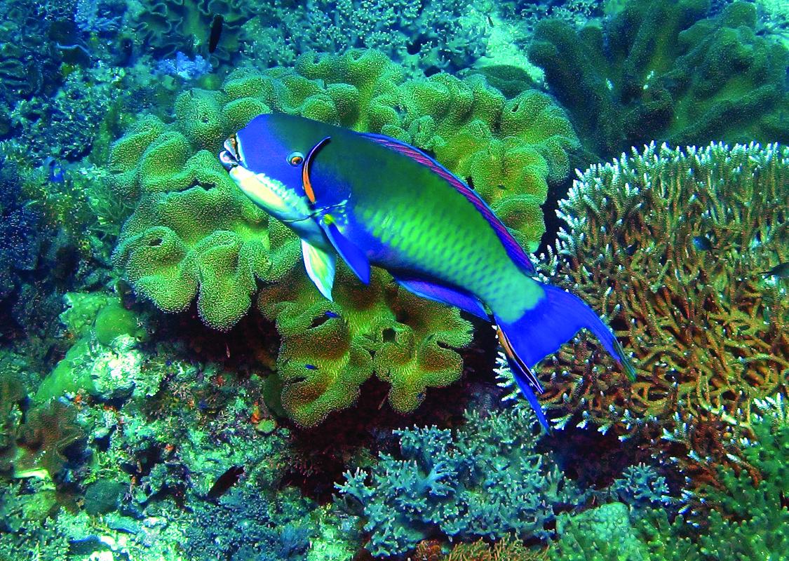 B1 05 SteepheadParrotfishFrewinWall2GOOD_triton2
