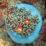 False clown anemonefish shelter in their anemone. PHOTO by SUE HACKING