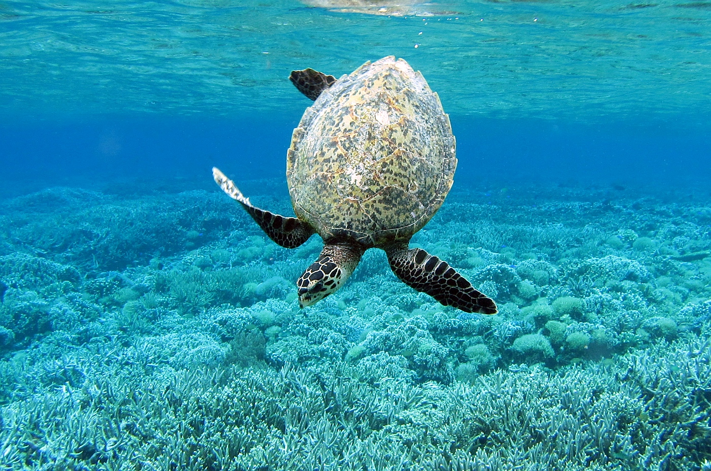 A young hawksbill turtle dives to the coral seafloor. PHOTO by SUE HACKING