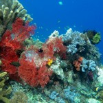 Soft corals like this red gorgonian sea fan flourish in Raja Ampat's swift currents.PHOTO by SUE HACKING