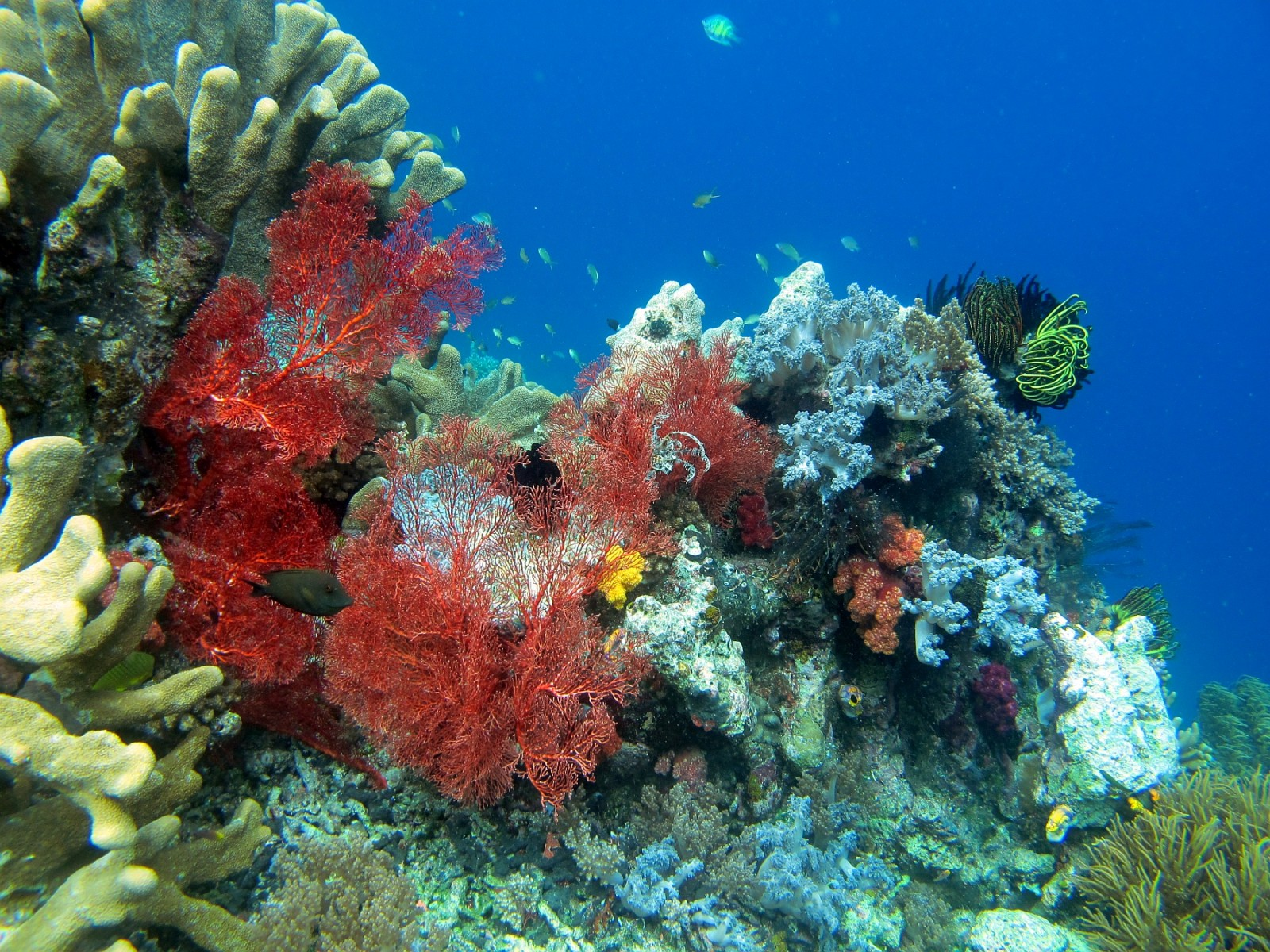 Soft corals like this red gorgonian sea fan flourish in Raja Ampat's swift currents. PHOTO by SUE HACKING