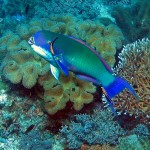 Beautiful steephead parrotfish is one of dozens of parrotfish species in Raja Ampat.PHOTO by SUE HACKING