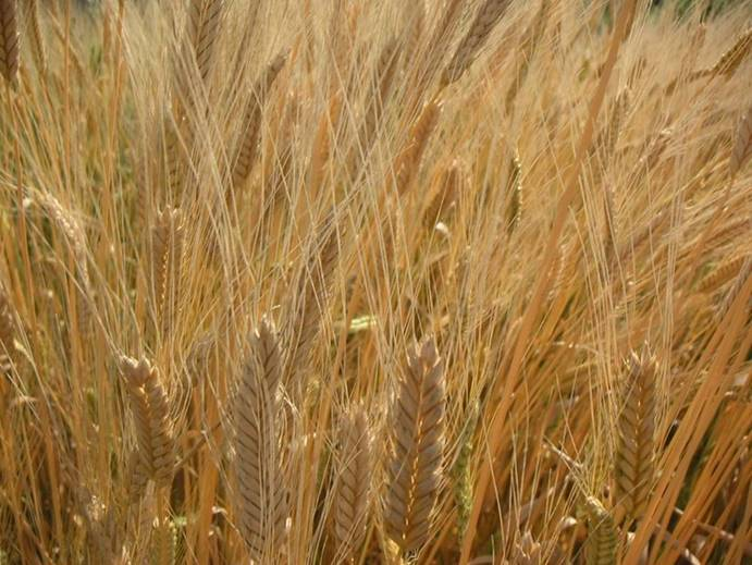 Golden Einkorn. PHOTO FROM JOVIAL FOODS AND THE WHOLE GRAINS COUNCIL