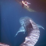Snorkeling with whale sharks is not for the faint hearted. Photos from Sue Hacking (hackingfamily.com).