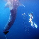 Free diving beside an adult whale shark. Photos from Sue Hacking (hackingfamily.com).