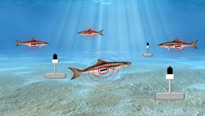 The receiver can hear a tag up to a half-kilometer away. When a tagged fish swims in proximity to a receiver, the unique code, date and time are recorded on the receiver. Scientists download data from the receivers every few months and discover which tagged fish have been in the area.