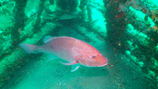 Florida makes 40-day red snapper season