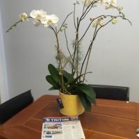 Live orchid arrangements